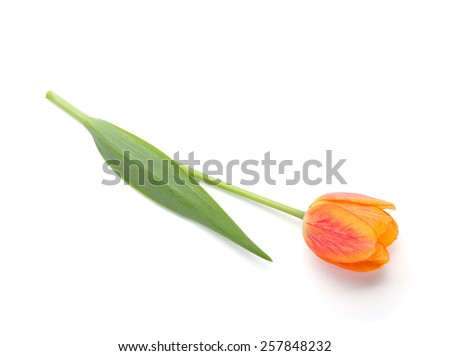 Lying orange tulip. View from above. Isolated on white background - stock photo