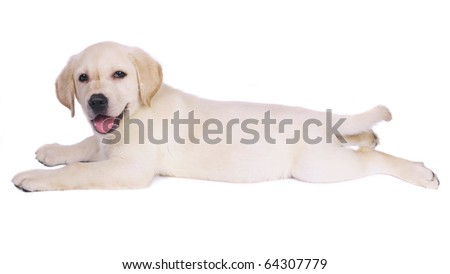Lying puppy labrador retriever. - stock photo