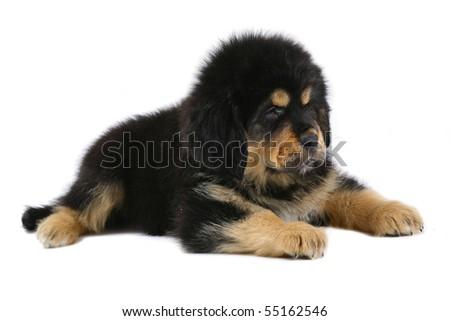 lying puppy tibetan mastiff on a white background. - stock photo