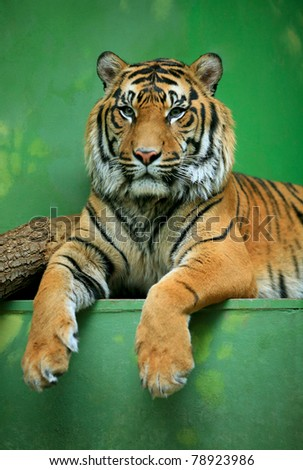 Lying Tiger gaze to the audience at the Zoo - stock photo
