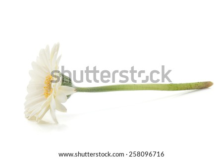 Lying white gerbera flower. Isolated on white background - stock photo