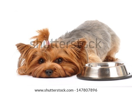 Lying yorkshire terrier portrait with empty bowl looking at camera