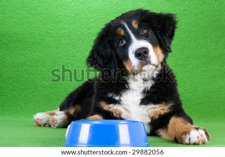 lying young bernese mountain dog and food dish,  isolated on green