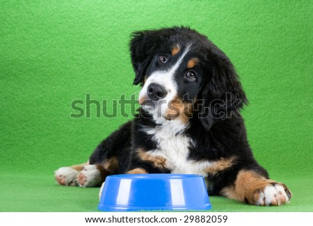 lying young bernese mountain dog and food dish,  isolated on green - stock photo