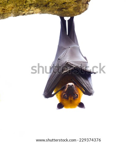 Lyle's flying fox - stock photo