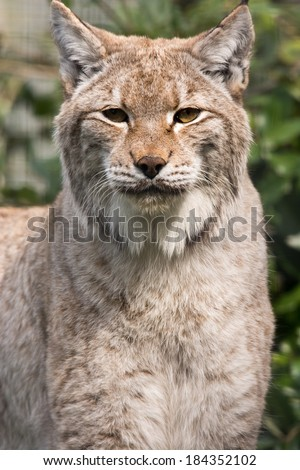 Lynx cat looking starring - stock photo