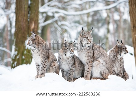 lynx family with four bobcats sitting in a snowy winter forest - stock photo
