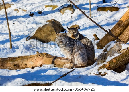 Lynx have a short tail, characteristic tufts of black hair on the tips of their ears, large, padded paws for walking on snow and long whiskers on the face. This is a female and male sitting together. - stock photo