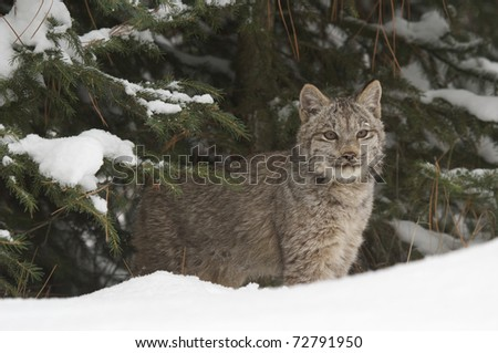Lynx in deep snow during winter time - stock photo