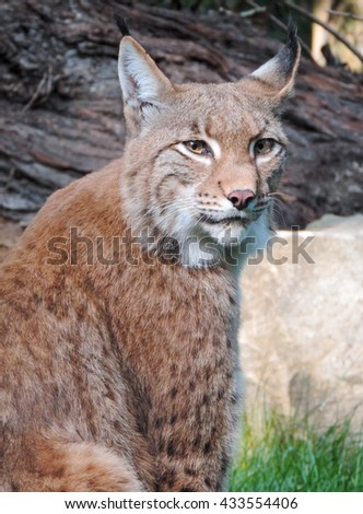 lynx in the forest - stock photo