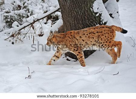 Lynx in winter - stock photo