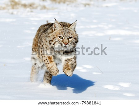 Lynx jumping in fresh snow - stock photo