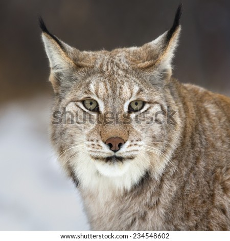 Lynx looking into camera - stock photo
