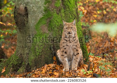 Lynx (Lynx lynx) sitting in front of a tree in the Bavarian forest, during fall. - stock photo