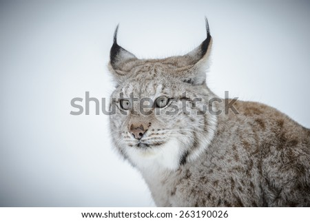Lynx on a background of snow in winter - stock photo