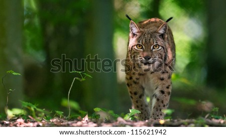 Lynx on silent paws - stock photo