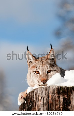 Lynx on snow covered log - stock photo