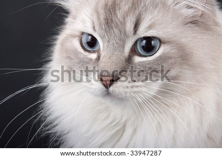 Lynx point Birman Cat close-up