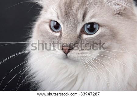 Lynx point Birman Cat close-up - stock photo