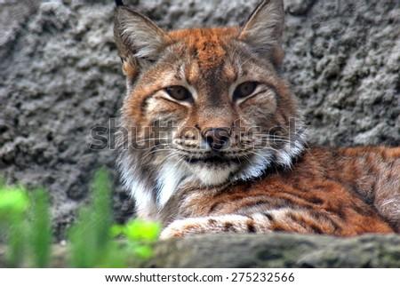 Lynx portrait. - stock photo