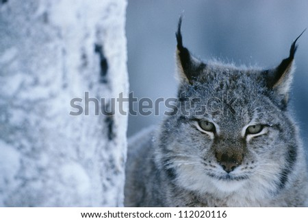 Lynx portrait besides tree trunk, minus 40 C - stock photo