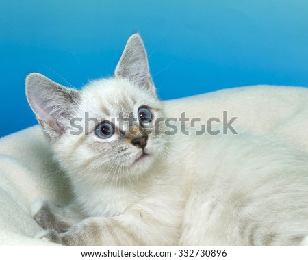Lynx Siamese mix kitten with blue eyes laying on an off white blanket with blue green textured background looking to the side partial profile - stock photo