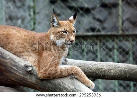 lynx sitting on a branch - stock photo