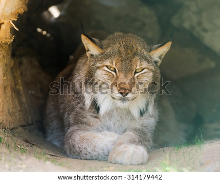 lynx sitting on the grass - stock photo