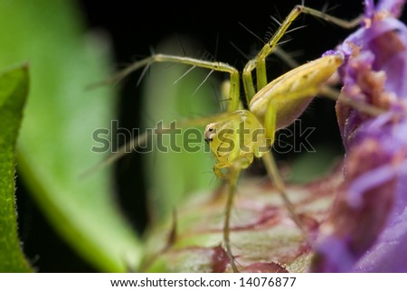 Lynx spider on purple wildflower - stock photo