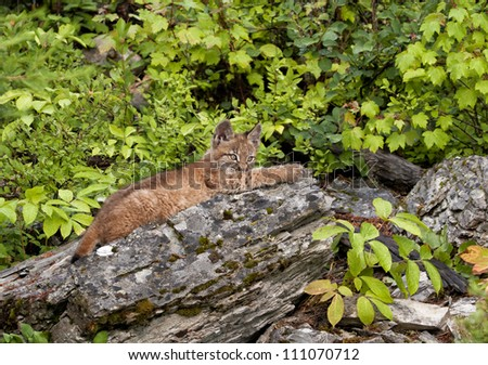 Lynx Stretched Out on a Rock