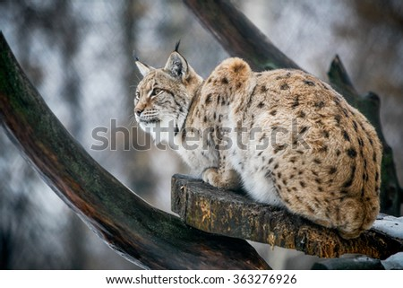 Lynx watching for prey in the forest. - stock photo