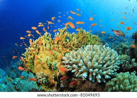 Lyretail Anthias fish and Hard Corals on a reef in the Red Sea - stock photo