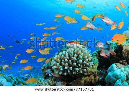 Lyretail Anthias Fish on Coral Reef - stock photo