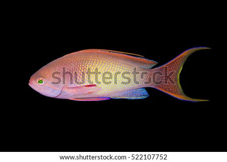 Lyretail Anthias, Pseudanthias squamipinnis, over black background.