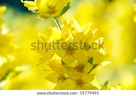 Lysimachia punctata (Garden Loosestrife, Yellow Loosestrife or Garden Yellow Loosestrife), shallow DOF - stock photo