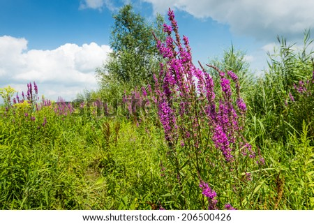 Lythrum salicaria with flowering Purple Loosestrife or Lythrum salicaria plants, reeds and other wildflowers in a Dutch nature area. - stock photo