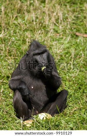 Macaca Nigra sitting in the grass and eating fruit - stock photo