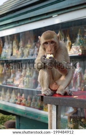 Macaque eating - stock photo