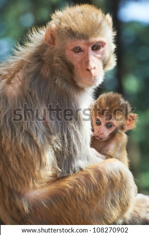 Macaque monkey mother with suckling little baby in forest - stock photo