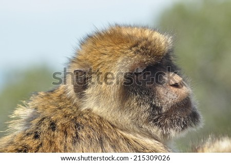 Macaque, monkey portrait, Gibraltar. Boar primates in the wild.