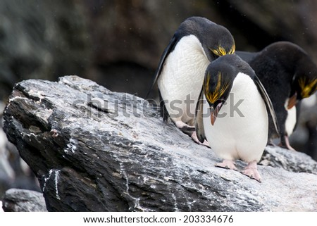 Macaroni penguin. Monroe Island in Antarctica. - stock photo