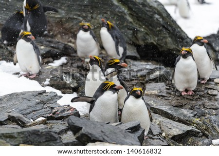Macaroni Penguins, one of six species of crested penguin, it is very closely related to the Royal Penguin, and some authorities consider the two to be a single species - stock photo