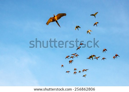 Macaw and Sun Conure Flock of flying in the sky and enjoy. - stock photo