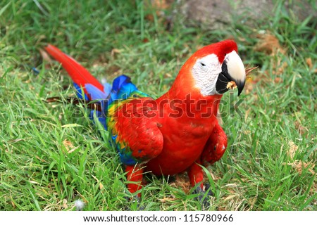 Macaw coloe red on the floor - stock photo