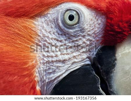 Macaw eye.Ara macao. - stock photo