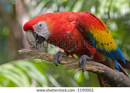 Macaw in Costa Rica - stock photo