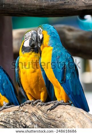 Macaw love - stock photo