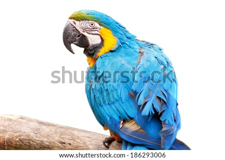 Macaw parrot - isolated on white background