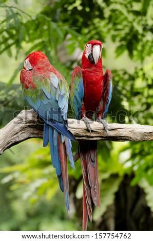 Macaws - stock photo