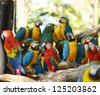 macaws parrot bird on location - stock photo